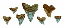 Fossil Shark Teeth embroidery design