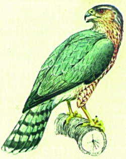 Coopers Hawk embroidery design
