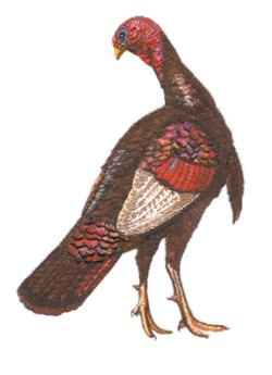 Wild Turkey embroidery design